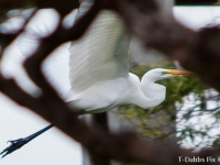 55_egret_flight2